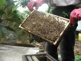 Cầu ong mật