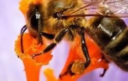 ong mật hút mật hoa để chế mật ong