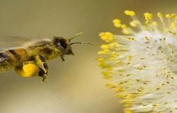 Tác dụng của phấn hoa chữa viêm loét dạ dày hiệu quả