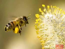 Tác dụng Phấn hoa mật ong làm đẹp và chữa cao huyết áp