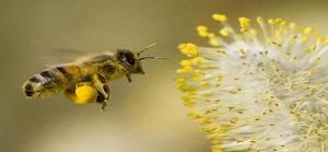 Tác dụng của phấn hoa giúp cơ thể nhẹ nhàng, khí lực sung mãn, trẻ lâu, sống thọ
